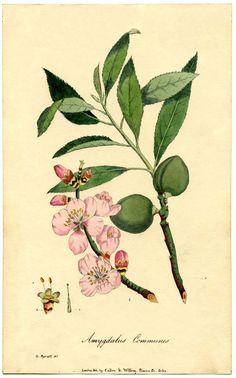 Botanical Almond Flower Print