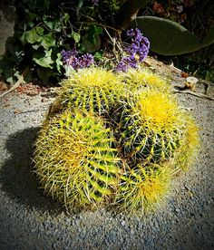 ✮ Golden Barrel Cactus