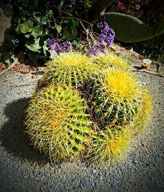 golden barrel, barrel cactus