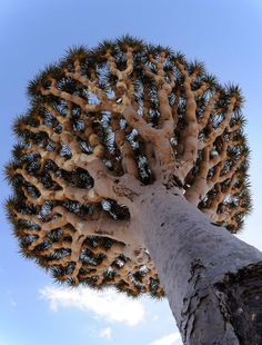 The Dragon's Blood tree is a rare type of tree that originates on a small group of four islands in the Indian Ocean. It contains a beautiful red sap which is called Dragon's Blood that has been used as a medicine to treat a variety of ailments.