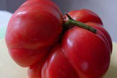 A plump tomato at RambleRill Farm.