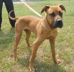 Pit bull/boxer mix with a lot to say! He has been with SCAS since 7/3