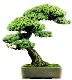 Japanese White Pine    - from bonsaiclopedia.com