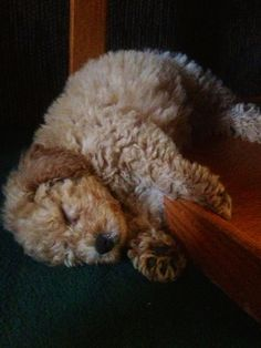 Mini Goldendoodle - I can't even handle how cute this lil' guy is...