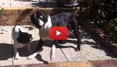 Watch these Two Inseparable Boston Terrier Dogs Playing! → http://www.bterrier.com/?p=4189 - https://www.facebook.com/bterrierdogs