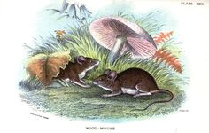 woodland mice. illustrated in 1896.