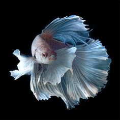 pale blue fins....Stunning Portraits of Siamese Fighting Fish by Visarute Angkatavanich