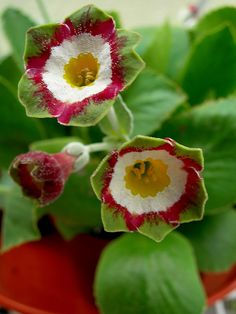 Primula Auricula-Who could make up these colours!!!