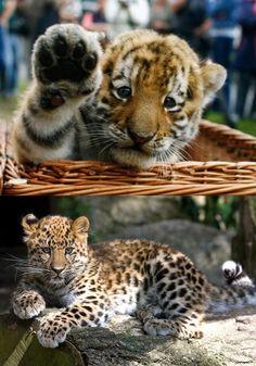 Tiger Cub and Leopard Cub