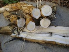 How to harvest, prepare and cook the cattail rhizomes which has saved many from starvation.