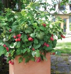 An Alameda Garden: Raspberries in Containers: You Can Grow That!