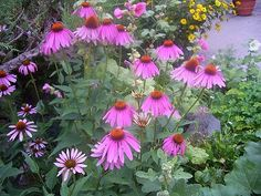 pictures of purple coneflower | Purple Cone Flower adds wonderful color to any garden, but it is ...