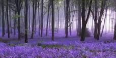 Lavendar forest floor