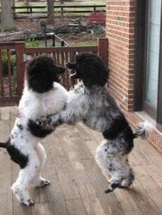 Standard Poodle dance