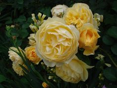 roses my favorites on pinterest climbing roses. Black Bedroom Furniture Sets. Home Design Ideas