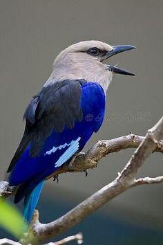 A Blue-Bellied Roller