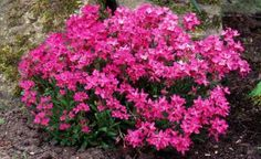 Arabis blepharophylla, gooseherd popularly called, is a decorative perennial herb, 20-25 cm tall, ideal for flower gardens. Gooseherd develop white, pink or lilac, during March-June.