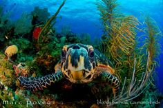 Cayman island turtle.