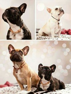 French Bulldogs, Que