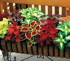 Coleus are GREAT accent plant in a container or in beds - love this grouping!!