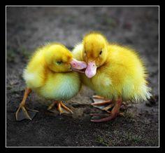 baby ducks... very cute!