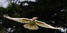 The White Raven. It's not a subspecies, but instead it is a genetic anomaly within the common black raven species and is not albinism.