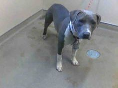 *CHINA - ID#A677671    Shelter staff named me CHINA.    I am a female, blue and white Pit Bull Terrier.    The shelter staff think I am about 1 year old.    I have been at the shelter since Oct 11, 2012.
