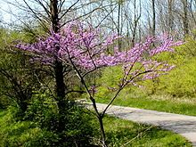 I want to plant one of these this year. When they begin to bloom it is a sure sign of spring here in Florida. Cercis canadensis - Wikipedia, the free encyclopedia