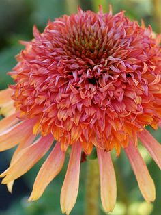"""Echinacea - """"Secret Desire"""" Coneflower Type: Perennials Height: Medium 2 (Plant 2-3 apart) Bloom Time: Summer to Early Fall  Sun-Shade: Full Sun to Mostly Sunny  Zones: 4-9  Find Your Zone Soil Condition: Normal, Clay, Acidic  Flower Color / Accent: Pink / Orange"""