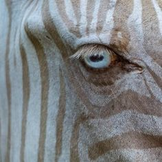 One in a million, Blue eyes and Blonde ZEBRA...Is this for real???