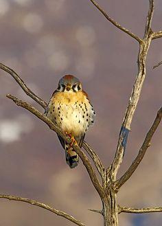 American Kestrel  Farmington Bay Bird Refuge, Utah    ©NatureWildlifeImages.com