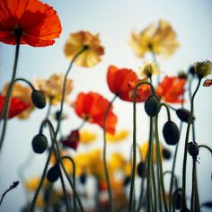 Oh Poppies are my favourite
