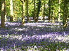 forests, goddesses, bluebel wood, green, carpets, blankets, beauty, flowers, backyards