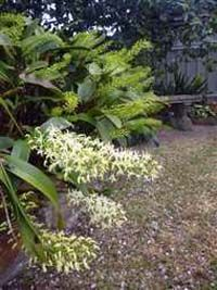 Australian Native Orchids