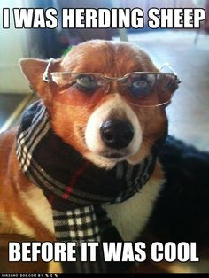 Hipster Corgi was herding sheep before it was cool. #herding hipsters, funny dogs, herd sheep, hipster corgi, anim cuti, funni, hipster dog, corgi craze, corgilici