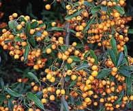 Firethorn attract Birds    Looking for autumn beauty in your backyard beyond the pumpkins, cornstalks, and chrysanthemums surrounding your doorstep? The firethorn is right for you. While it has beautiful white flower clusters in spring and attractive glossy-green foliage the rest of the year, it's those compact bunches of pea-size red, orange or yellow berries that always get all the attention. These brilliant berries carry on long after the last of autumn's leaves have dropped.