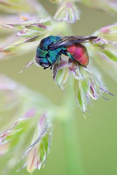 Sleeping Cuckoo Wasp (Holopyga generosa, Chrysididae) - ©John Hallmen - www.flickr.com/photos/johnhallmen/8566296692/