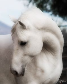 lipizzan stallion ~ he knows he is gorgeous.
