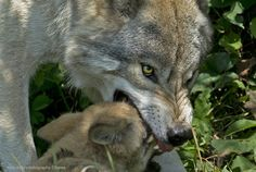 Photo Wolf Mom gently muzzles Pup by Rudy Pohl on 500px