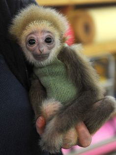 A White-Handed  baby Gibbon in a sweater?!  There are no words for this cuteness!!!!