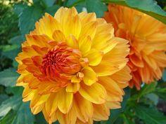 Dahlias Art Prints Orange Dahlia Flowers Baslee Troutman Photograph  - Dahlias Art Prints Orange Dahlia Flowers Baslee Troutman Fine Art Print