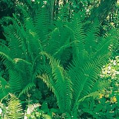 Ostrich Fern. Would plant close to the trunk of the two big trees in the front yard, then surround with hostas. $6.99 each would need 5-6 per tree. Take a couple years to look like the pic