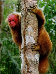 Uacari-monkey - They live only in a part of the Amazon region, in parts of the forest that are flooded by the rivers of muddy water, north of the Solimões River. - Brazil