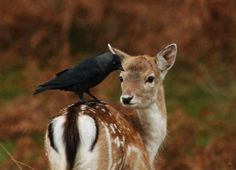 Fawn and Jackdaw