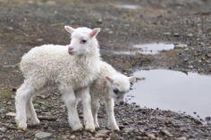 Sweet wool