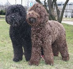 Barbet - France. Listed in Group 8 (Retrievers, Flushing dogs, and Water dogs)