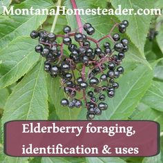 Elderberry Foraging, Identification & Uses
