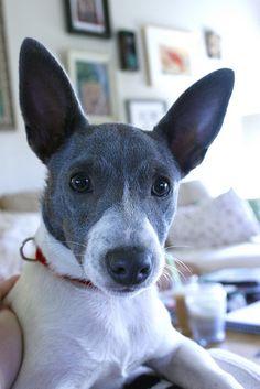 Blue Rat terrier