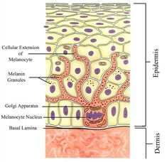 Melanocytes: pigment-producing cells in mammals