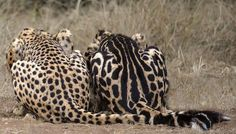 The difference between a normal spotted cheetah (left) and a rare king cheetah (right) is a mutation in a single gene